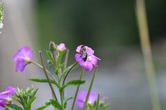 La abeja que poliniza en la flor Imagen de archivo