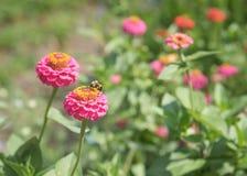 La abeja que poliniza zinnias rosados y rojos en verano cultiva un huerto Fotos de archivo libres de regalías