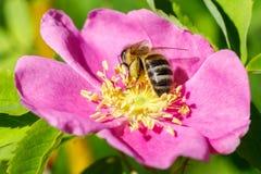 La abeja que polinizaba un salvaje subió Fotografía de archivo libre de regalías