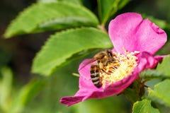 La abeja que recogía la miel en salvaje subió Fotografía de archivo