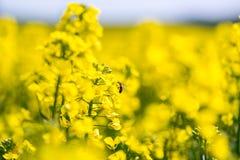 La abeja que recoge el néctar de la colza joven florece Imágenes de archivo libres de regalías