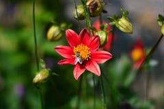 la abeja que recoge el néctar en las flores foto de archivo libre de regalías