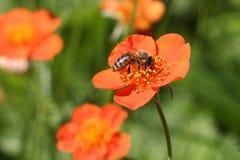 La abeja que recoge el néctar en una flor anaranjada de un geum Imágenes de archivo libres de regalías