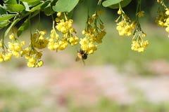 La abeja que recoge el néctar en una rama del bérbero floreciente Imágenes de archivo libres de regalías