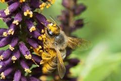 La abeja que recoge el néctar. Macroshooting Imagenes de archivo