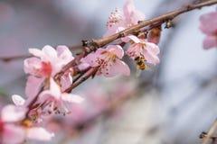La abeja que recoge el polen en el melocotón rosado floreciente florece en ramas Fotografía de archivo
