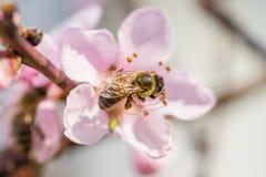 La abeja que recoge el polen en el melocotón rosado floreciente florece en ramas Imagenes de archivo