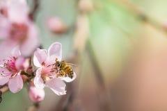 La abeja que recoge el polen en el melocotón rosado floreciente florece en ramas Imágenes de archivo libres de regalías