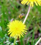 La abeja que recoge el polen en un diente de león del amarillo florece en primavera Fotografía de archivo