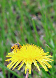 La abeja que recoge el polen en un diente de león del amarillo florece en primavera Foto de archivo libre de regalías