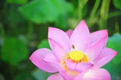 La abeja que recoge la flor de loto néctar-roja es magnífica Imágenes de archivo libres de regalías