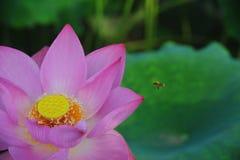 La abeja que recoge la flor de loto néctar-roja es magnífica Foto de archivo libre de regalías
