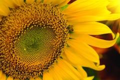 La abeja que se sienta en el girasol Foco selectivo y suave con efecto de la llamarada de la subida de Sun Fotografía de archivo