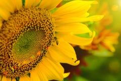 La abeja que se sienta en el girasol Foco selectivo y suave con efecto de la llamarada de la subida de Sun Imagen de archivo libre de regalías