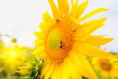 La abeja que se sienta en el girasol Foco selectivo y suave con efecto de la llamarada de la subida de Sun Fotos de archivo libres de regalías