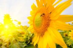 La abeja que se sienta en el girasol Foco selectivo y suave con efecto de la llamarada de la subida de Sun Imágenes de archivo libres de regalías