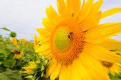 La abeja que se sienta en el girasol Foco selectivo y suave con efecto de la llamarada de la subida de Sun Fotos de archivo