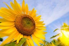 La abeja que se sienta en el girasol Foco selectivo y suave con efecto de la llamarada de la subida de Sun Fotografía de archivo libre de regalías