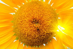 La abeja que se sienta en el girasol Foco selectivo y suave con efecto de la llamarada de la subida de Sun Imagen de archivo