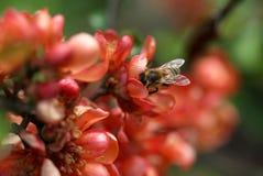 La abeja que se sienta en el tiro de la macro de la flor del membrillo Imágenes de archivo libres de regalías
