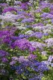 La abeja que vuela sobre cineraria florece en el jardín Malta de San Antón Imagen de archivo