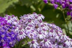 La abeja que vuela sobre cineraria florece en el jardín Malta de San Antón Imagen de archivo libre de regalías