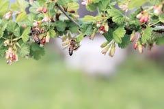 La abeja rayada vuela alrededor de la flor Imagen de archivo libre de regalías