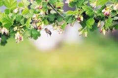 La abeja rayada vuela alrededor de la flor Foto de archivo libre de regalías