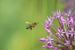 la abeja rayada vuela alrededor de la flor púrpura Imagenes de archivo