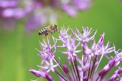 la abeja rayada vuela alrededor de la flor púrpura Fotos de archivo libres de regalías