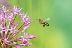 La abeja rayada vuela a la cebolla ornamental púrpura de la flor Imagen de archivo libre de regalías