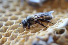 La abeja recién nacida está caminando en la jerarquía Imagenes de archivo