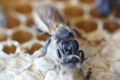 La abeja recién nacida está caminando en la jerarquía Fotos de archivo