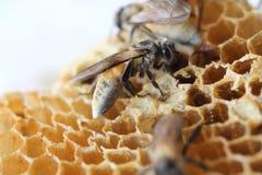 La abeja recién nacida está caminando en la jerarquía Fotos de archivo libres de regalías