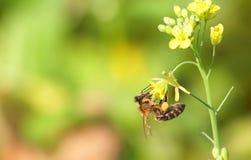 La abeja recoge el néctar Imagen de archivo