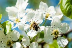 La abeja recoge el néctar Fotografía de archivo libre de regalías