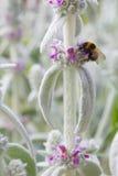 La abeja recoge el néctar Foto de archivo
