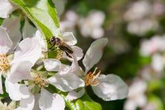 La abeja recoge el néctar Imagen de archivo libre de regalías