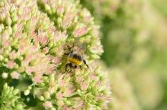 La abeja recoge el néctar Fotos de archivo libres de regalías