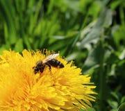 La abeja recoge el néctar Imágenes de archivo libres de regalías