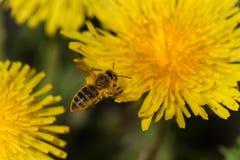 La abeja recoge el néctar Foto de archivo libre de regalías