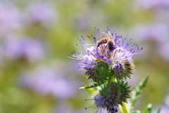 La abeja recoge el néctar Fotografía de archivo