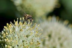 La abeja recoge el néctar de cebollas florecientes temprano Fotos de archivo