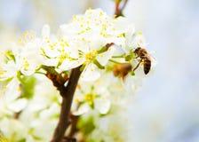 La abeja recoge el néctar de ciruelo de cereza de las flores Cher de florecimiento Fotos de archivo