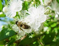 La abeja recoge el néctar de la flor de cerezo Fotos de archivo