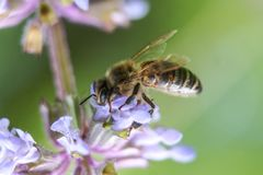La abeja recoge el néctar de la flor el día soleado Foto de archivo