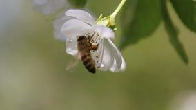 La abeja recoge el néctar de la flor floreciente blanca del árbol y se va volando Abeja en los pétalos de la cereza, metrajes