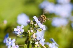 La abeja recoge el néctar de la flor Fotos de archivo