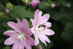 La abeja recoge el néctar de la flor Imagen de archivo