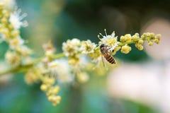 la abeja recoge el néctar de la flor de la flor del longan Imágenes de archivo libres de regalías